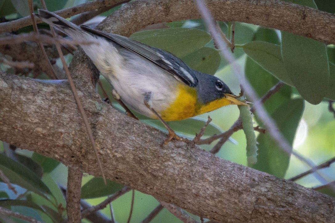 4-23-19wallspringsnorthernparula