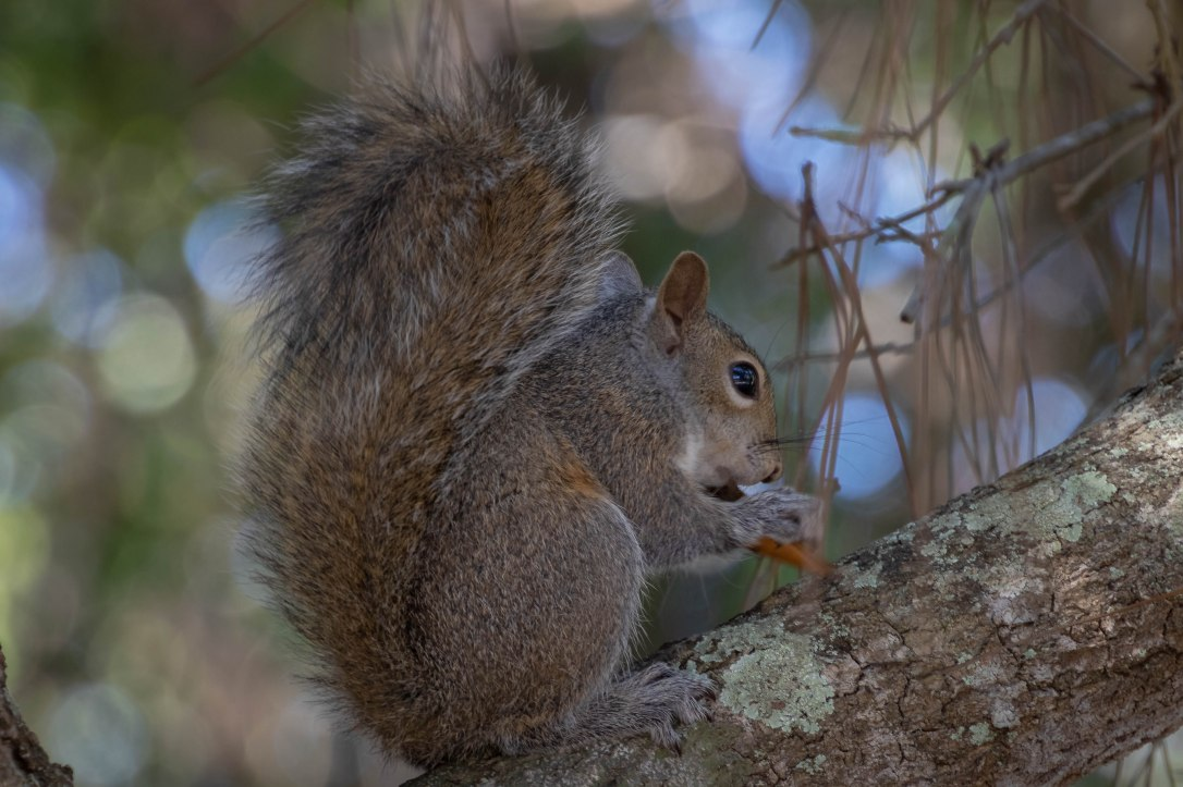 4-23-19wallspringsquirrel