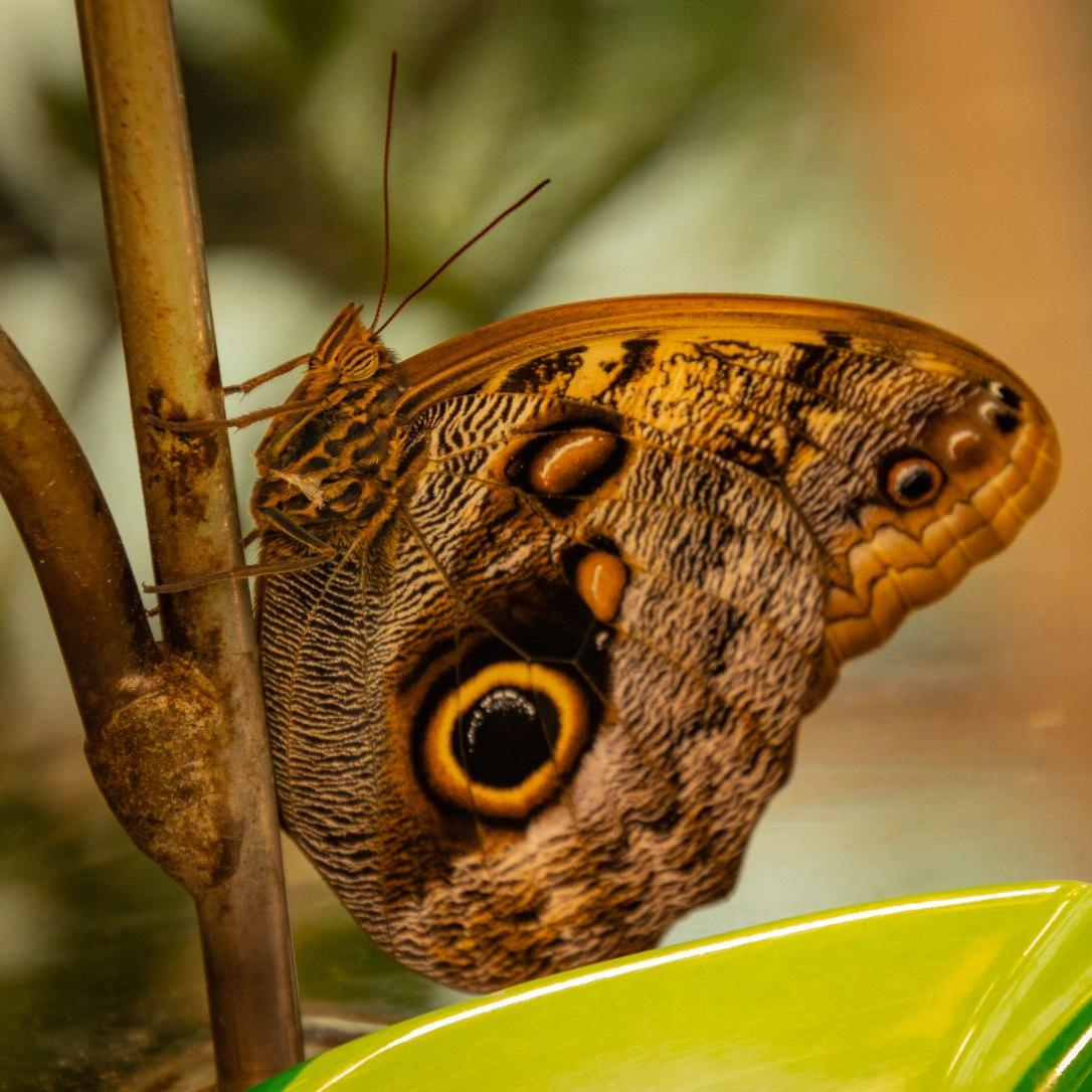 05--19owlbutterfly