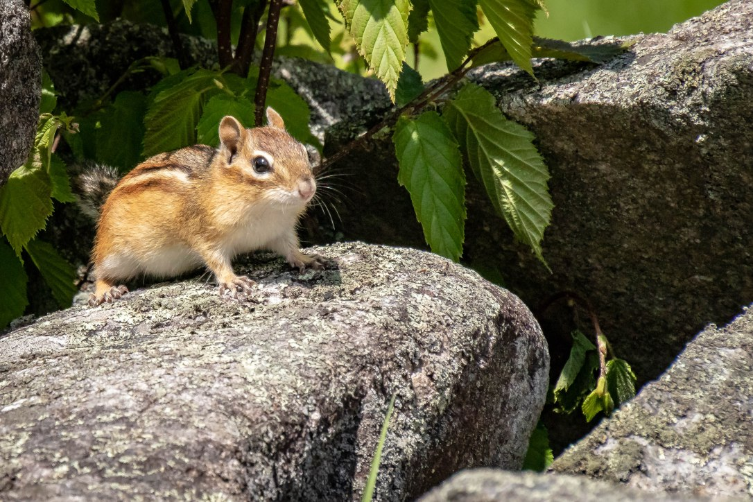05-20-19websterlakechipmunk