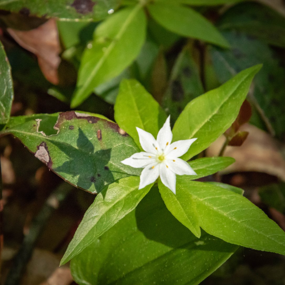 05-27-19starflower