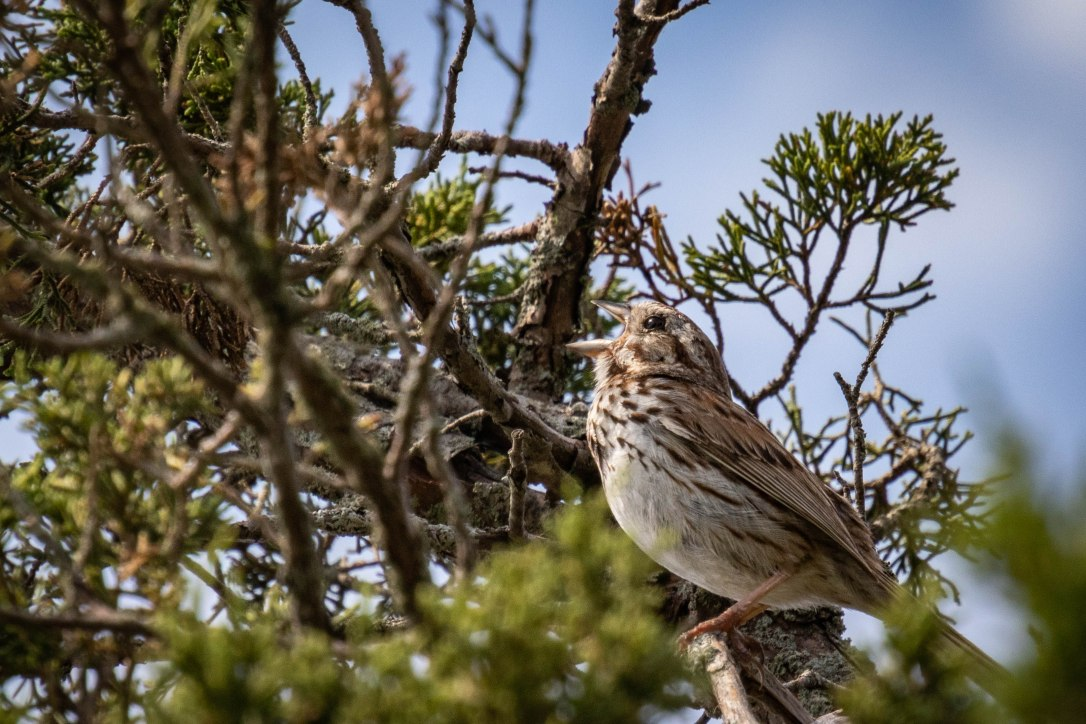 Buzzard'sBaysparrow