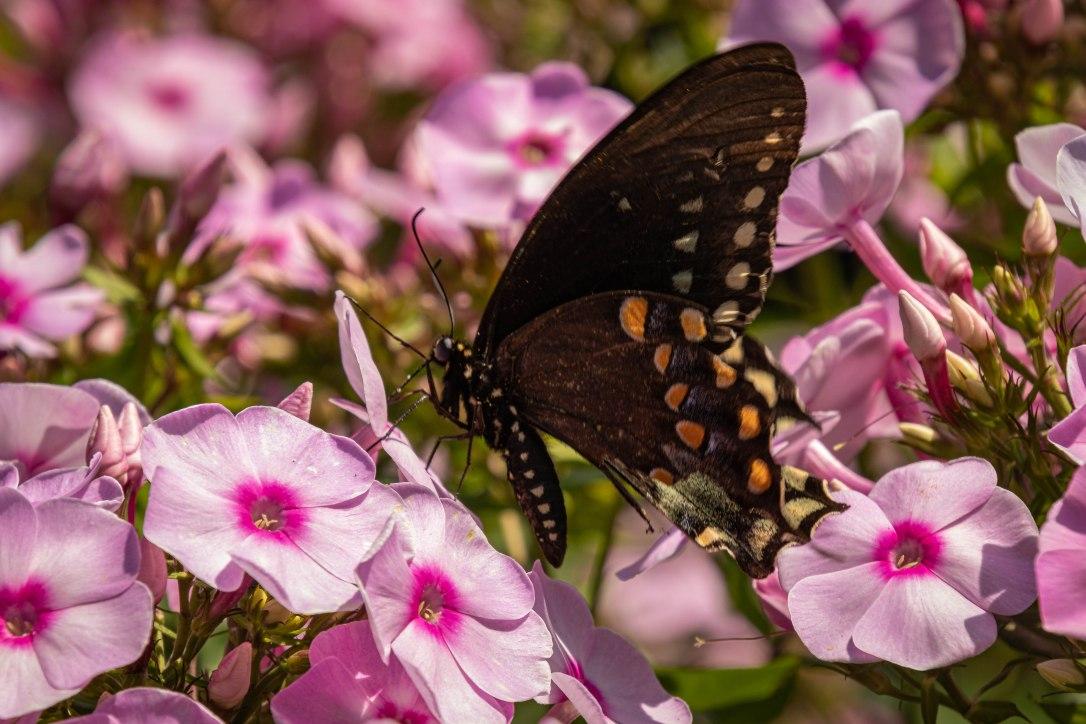 HPblackbutterfly