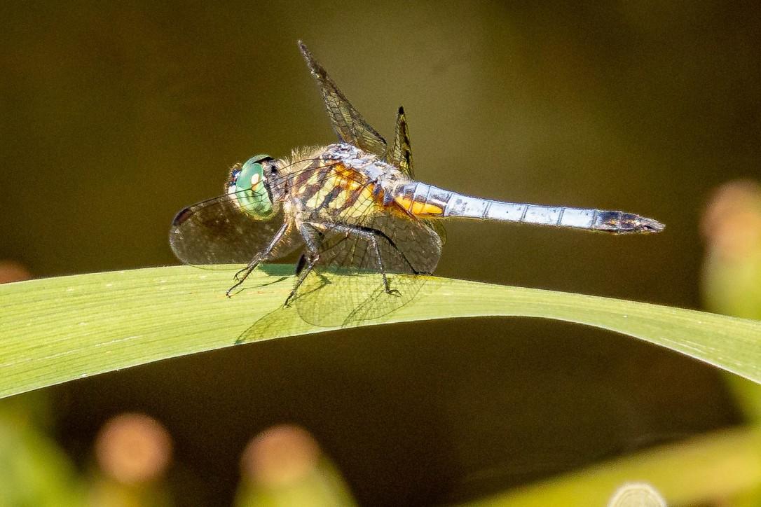 HPdragonfly
