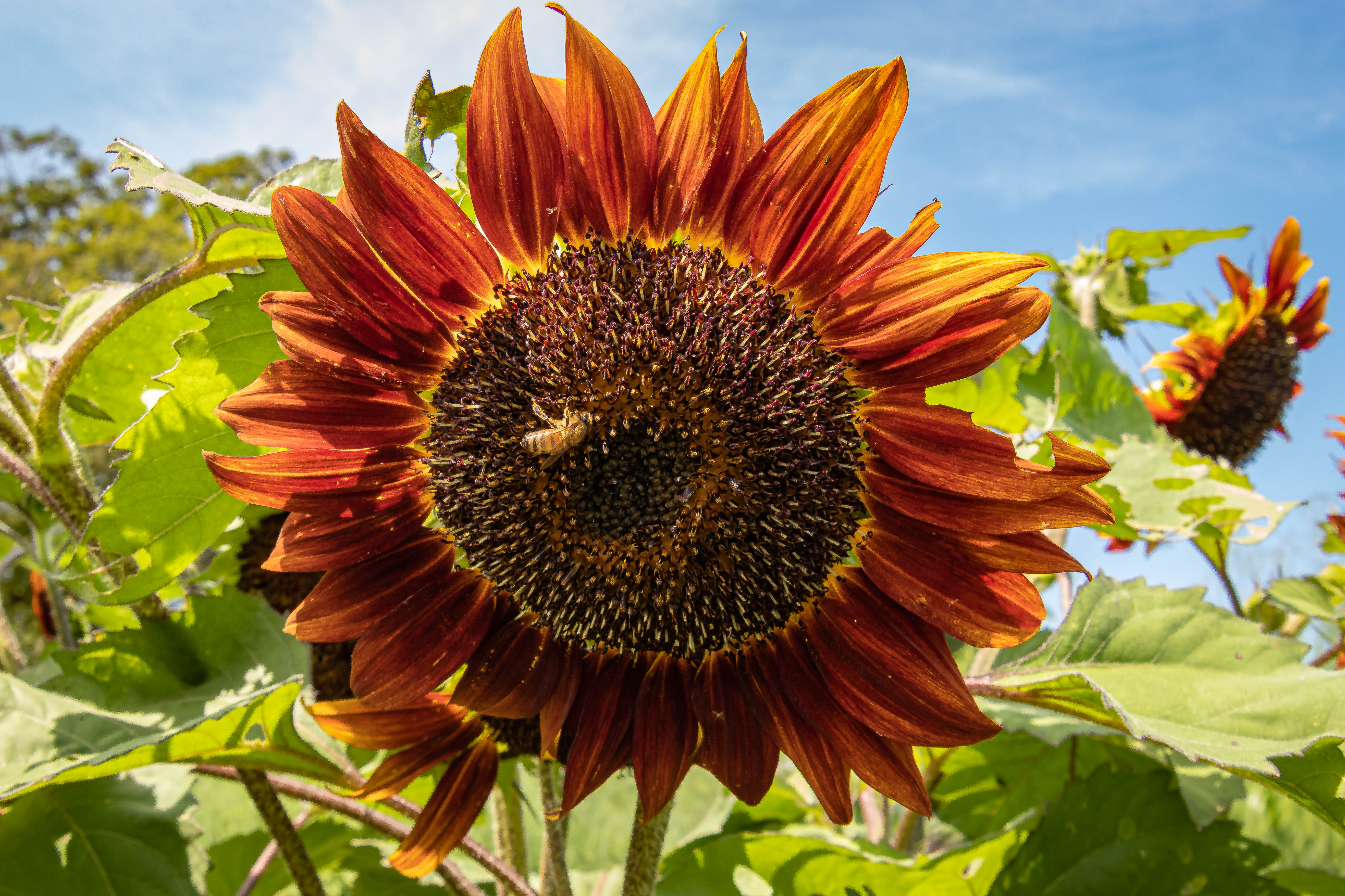 AugNHredsunflower