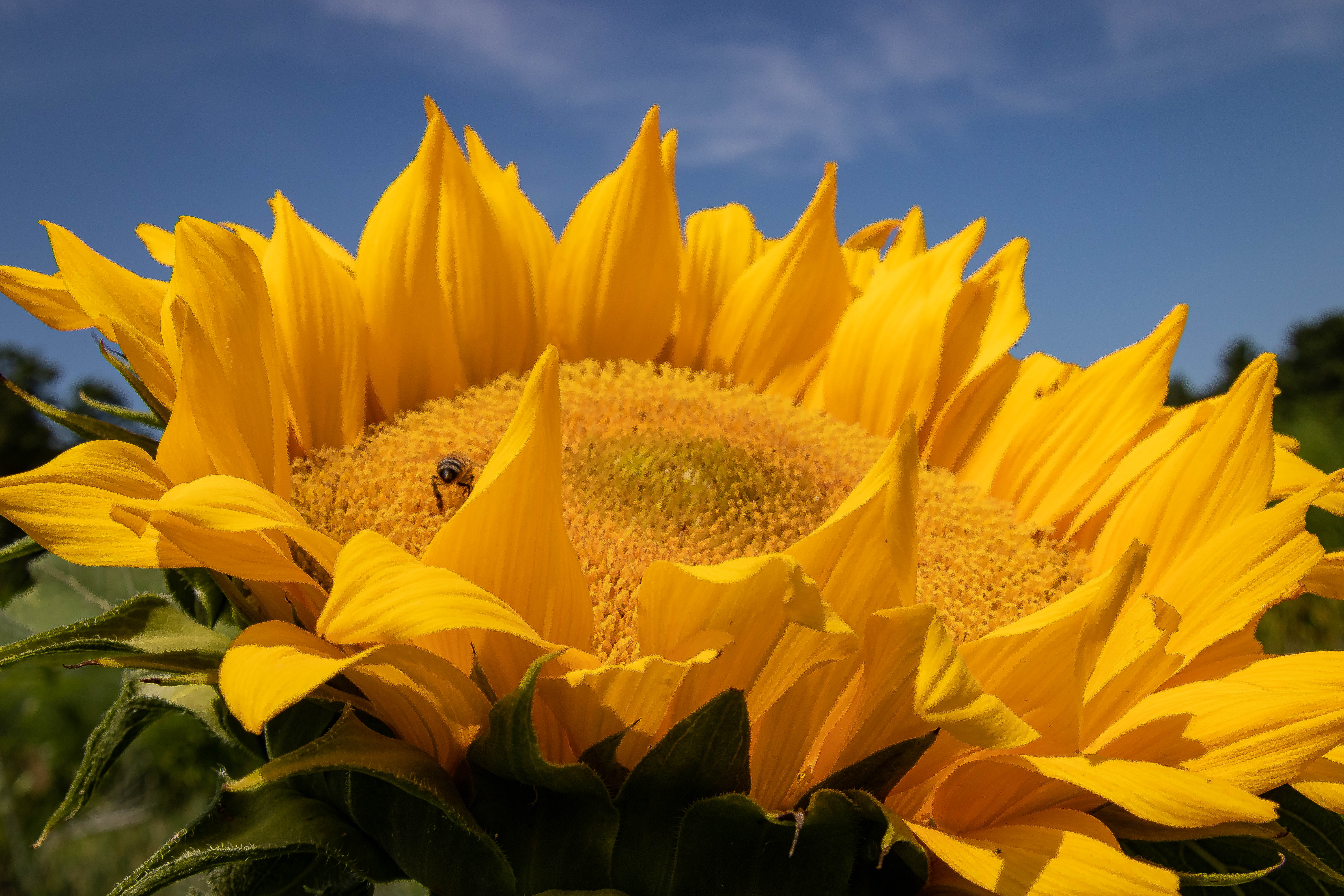 AugNHsunflower1