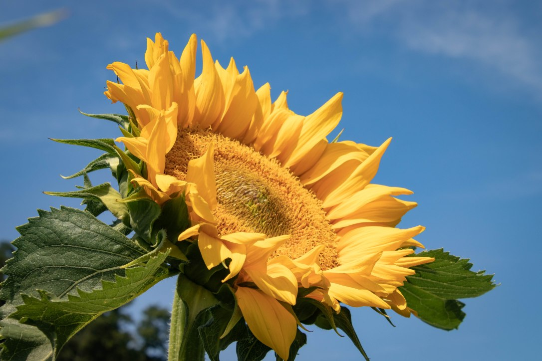 AugNHsunflower2
