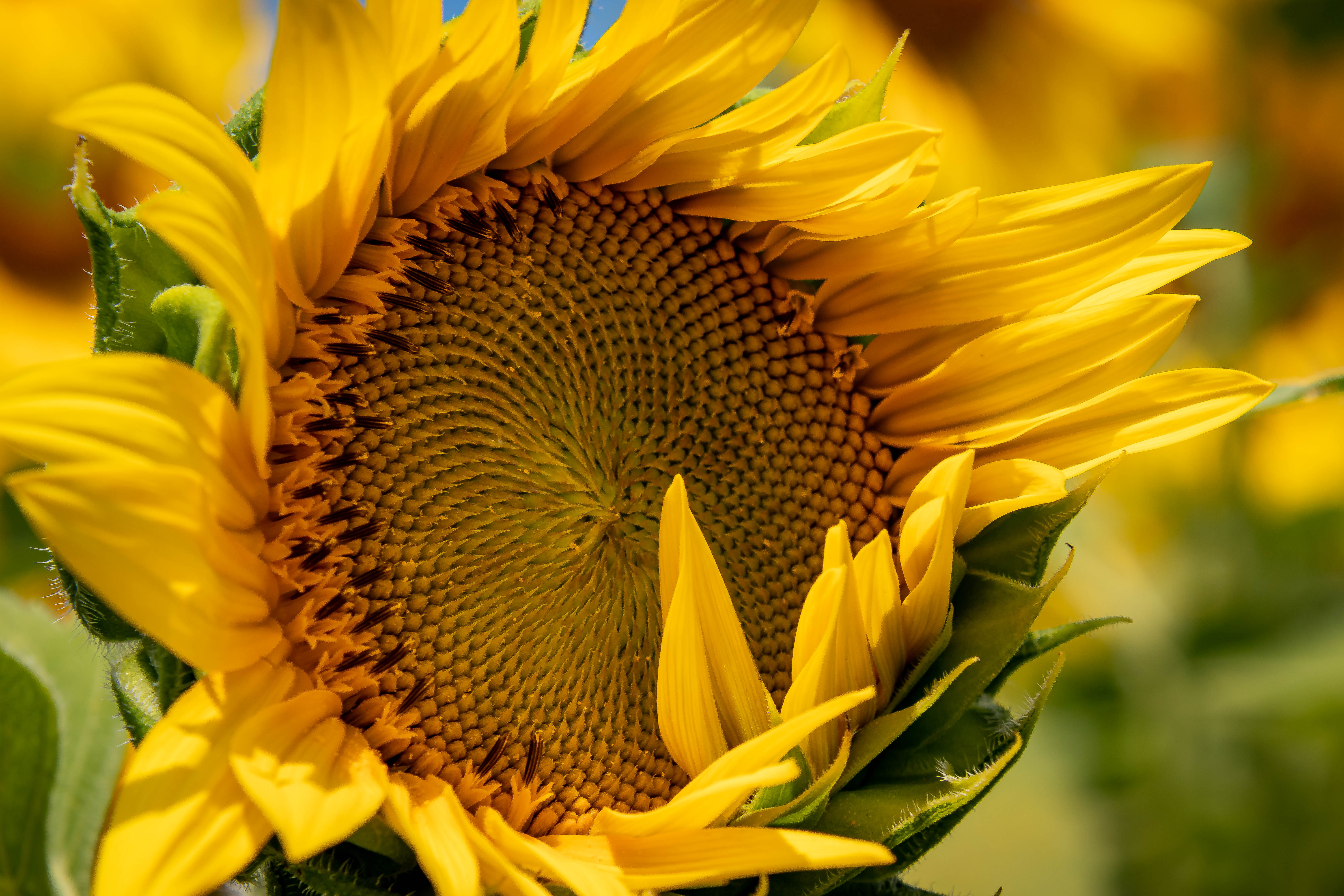 AugNHsunflower3