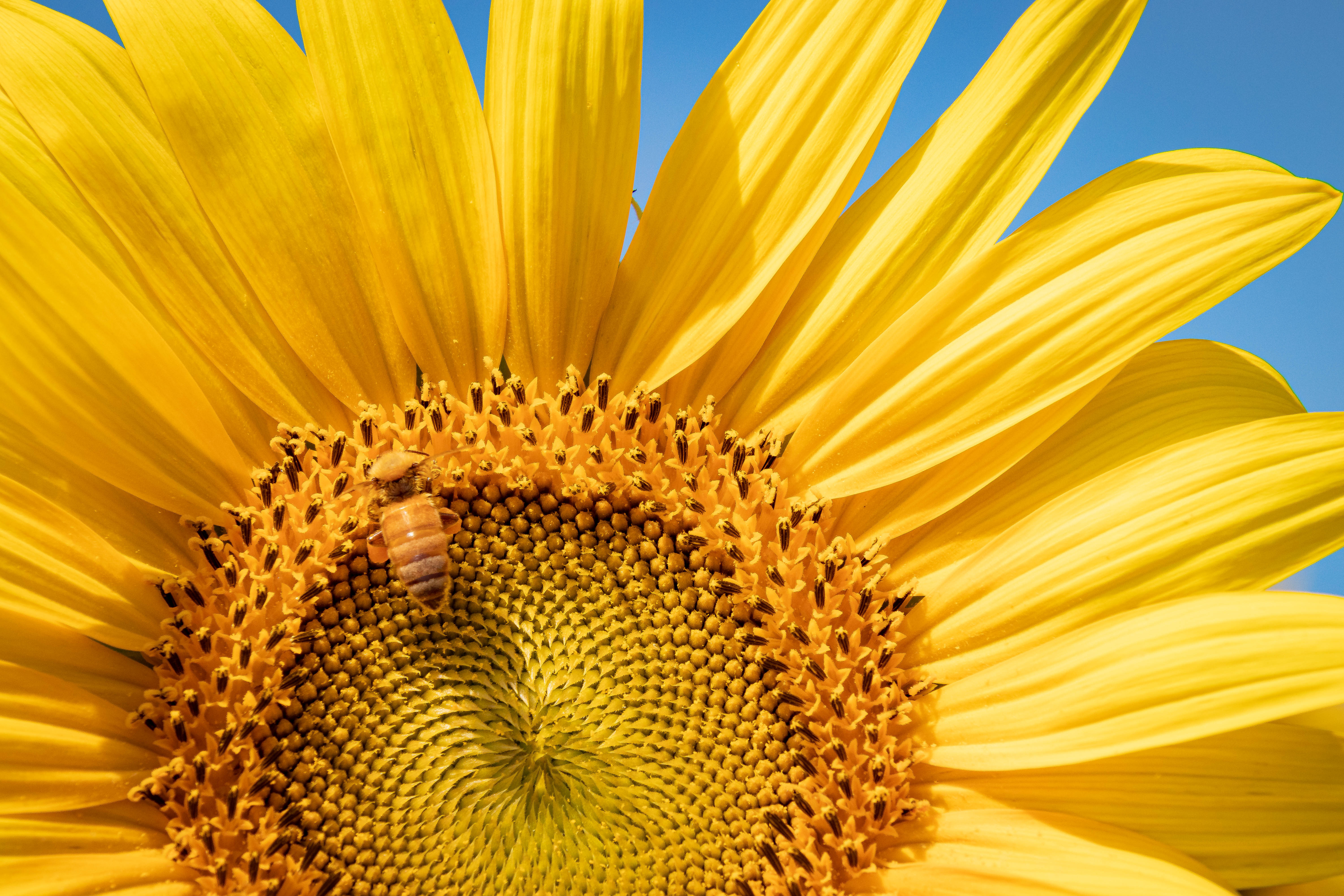 AugNHsunflower4
