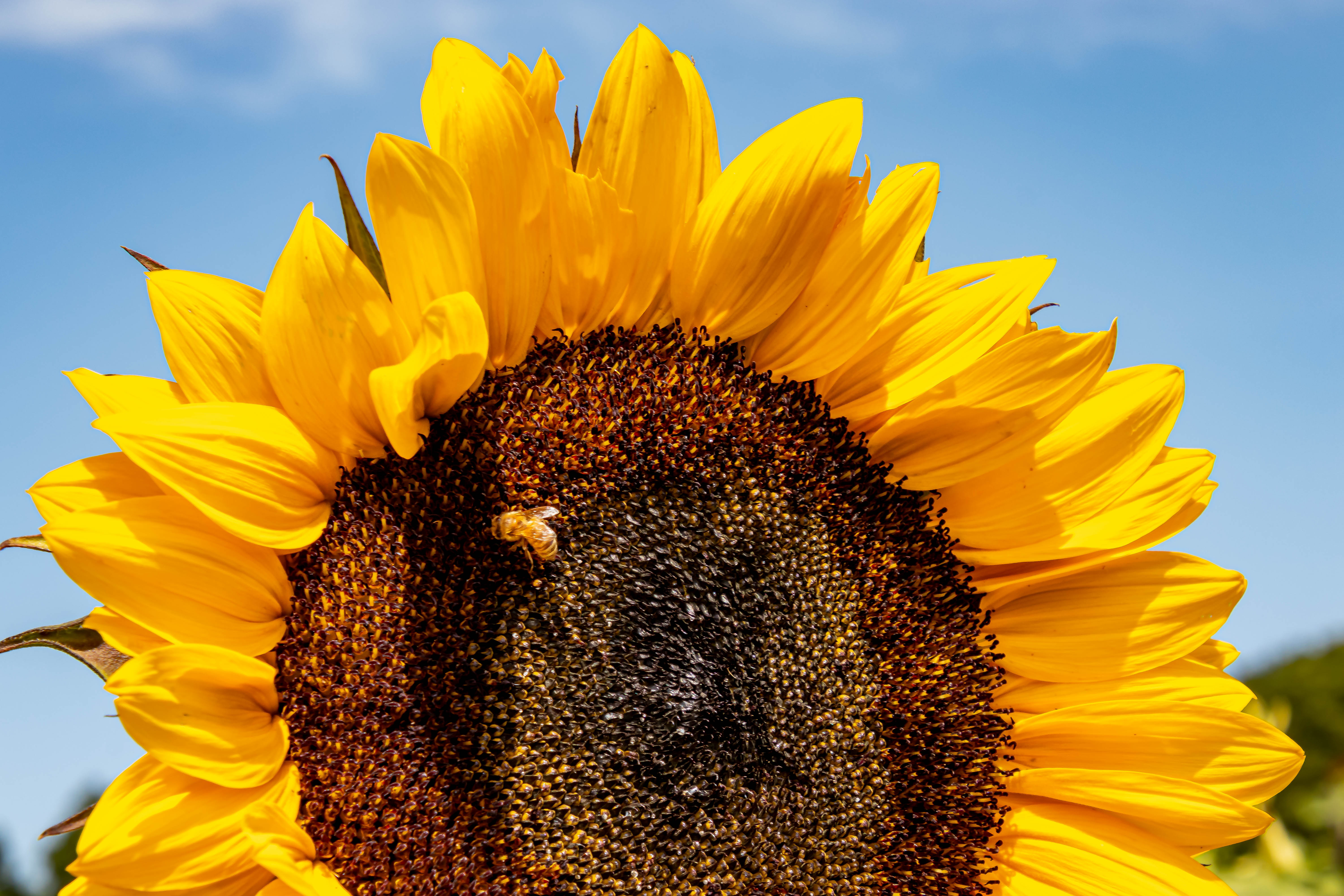 AugNHsunflower5