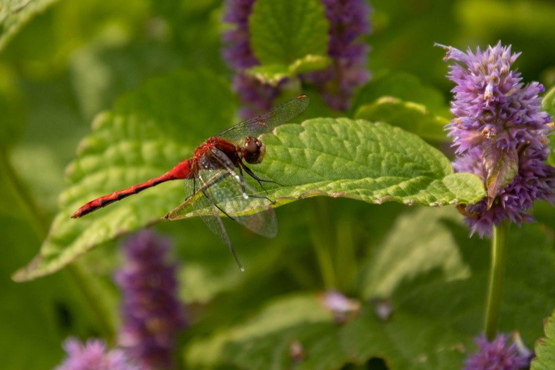 flowersandbugsdragonfly
