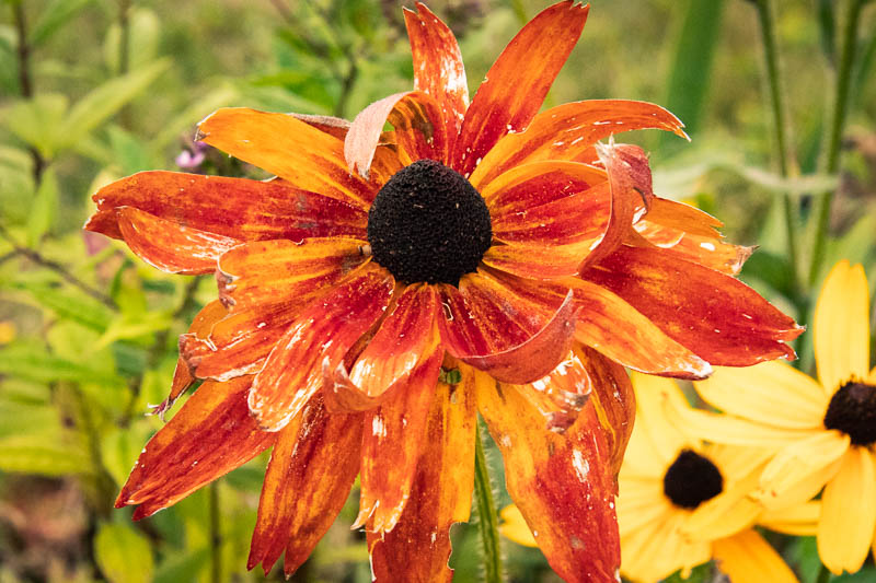 fadingflower