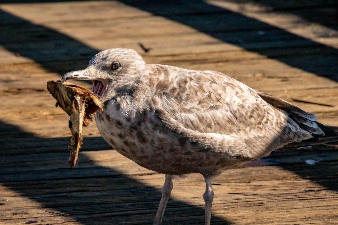 wharfbird