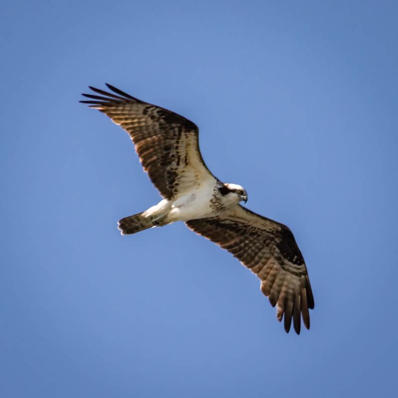 11-9sunsetbeachosprey