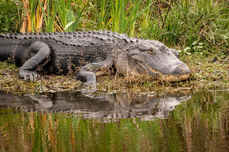 12-29alligator1