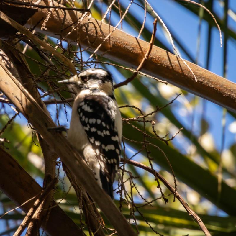 1-20-20woodpecker