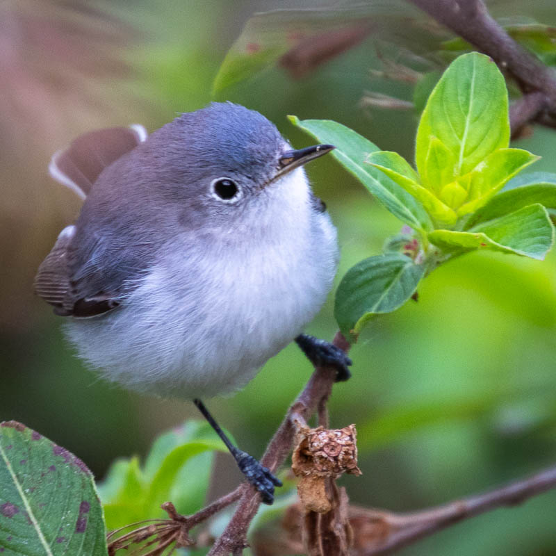 02-03-20gnatcatcher