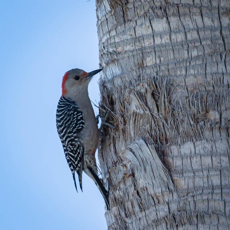 02-11-20woodpecker