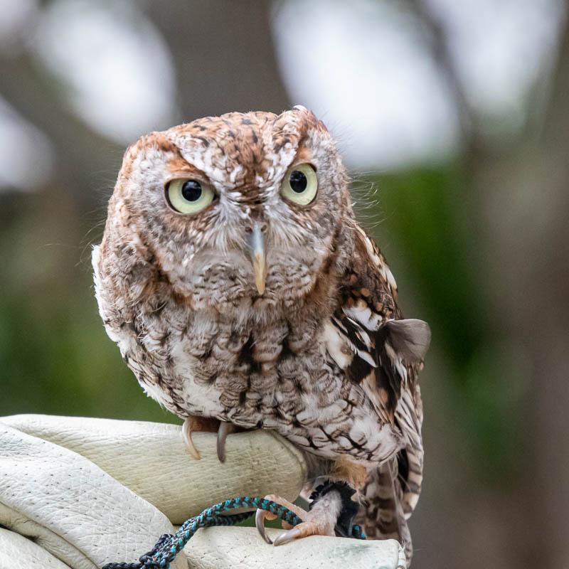 02-29-20vet-owl2