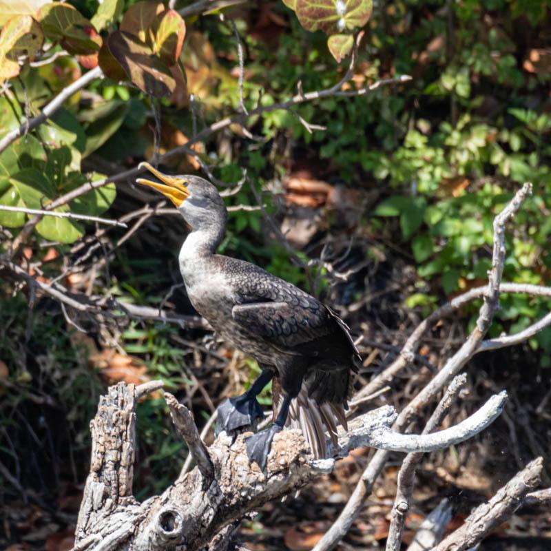 03-20-20daytripcormorant2