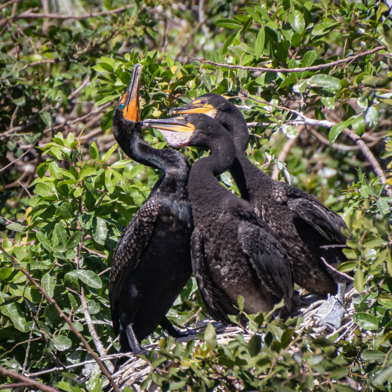 03-20-20daytripcormorants