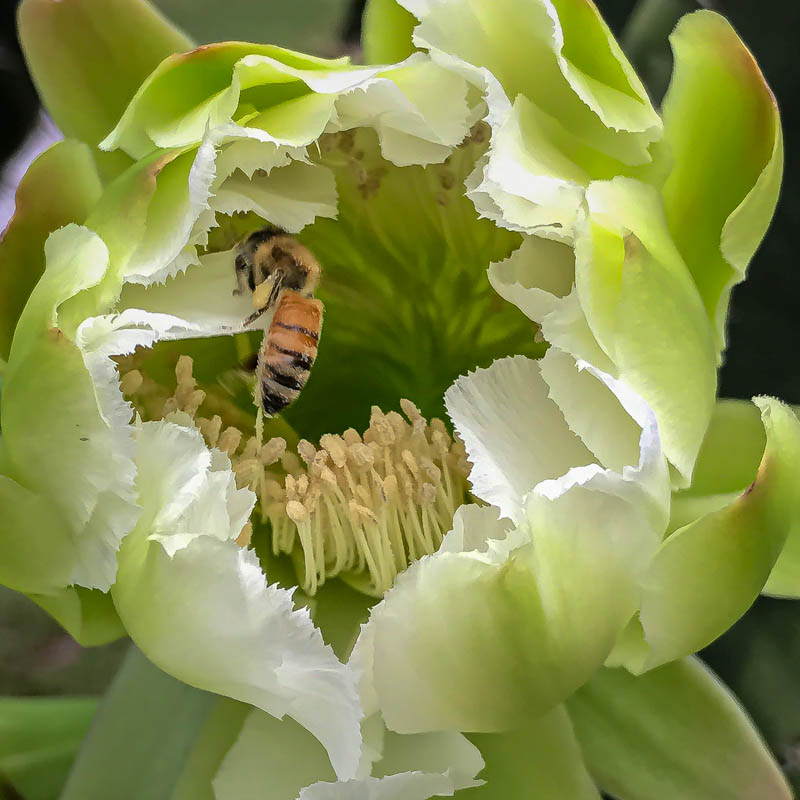 04-01-20cactusflower4