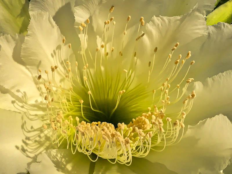 04-01-20cactusflowerclose