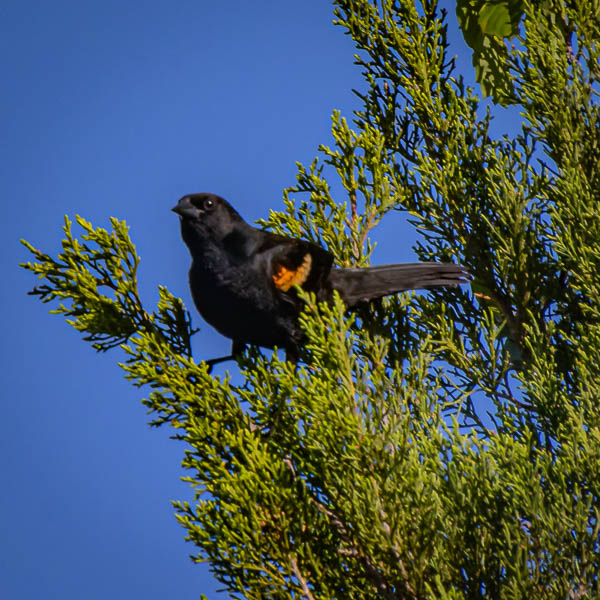 05-13-20redwingedblackbird