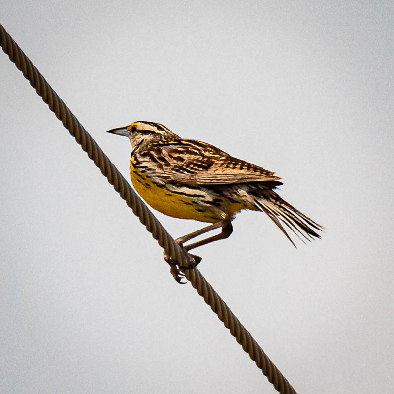 05-14-20easternmeadowlark