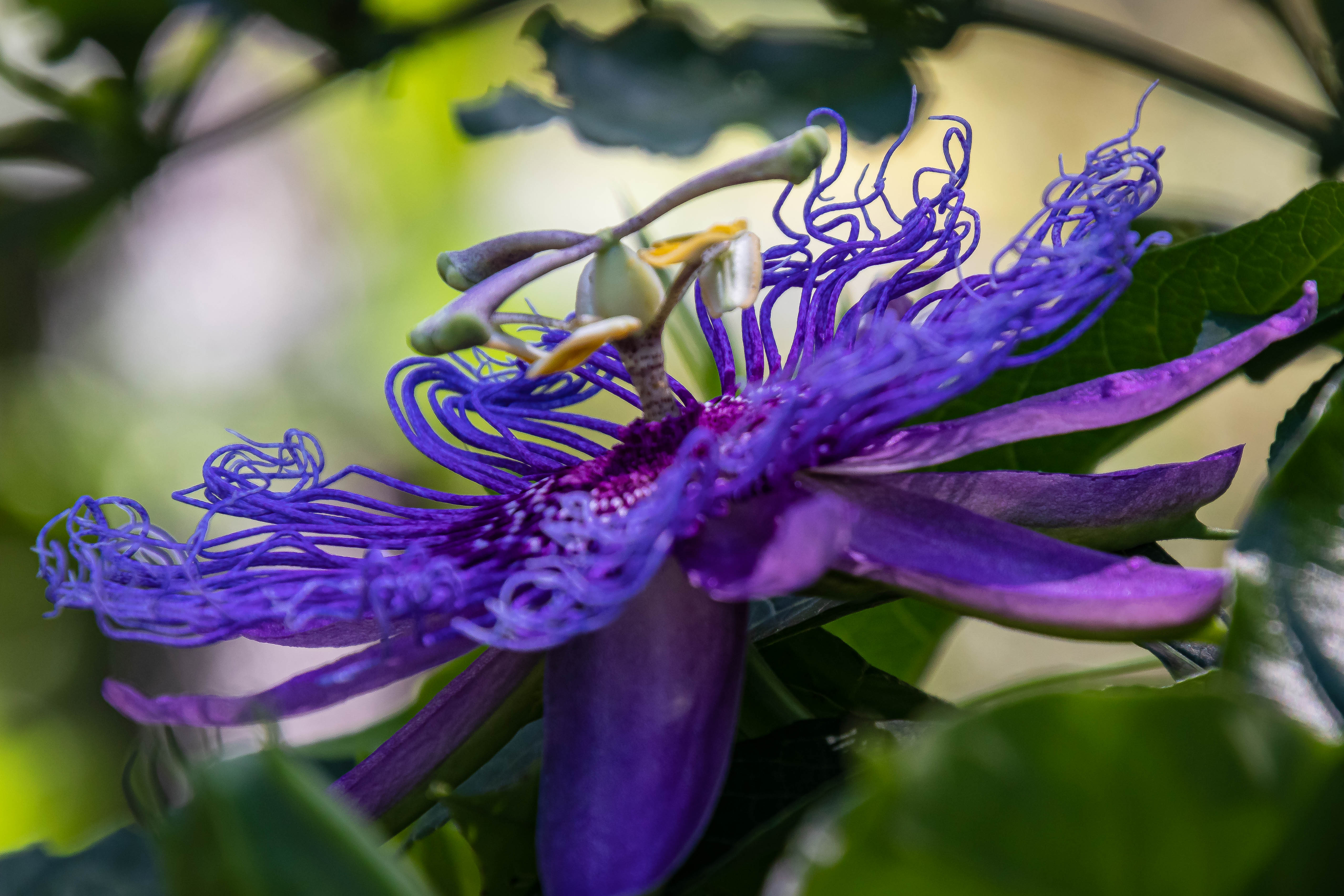 05-19-20passionflower
