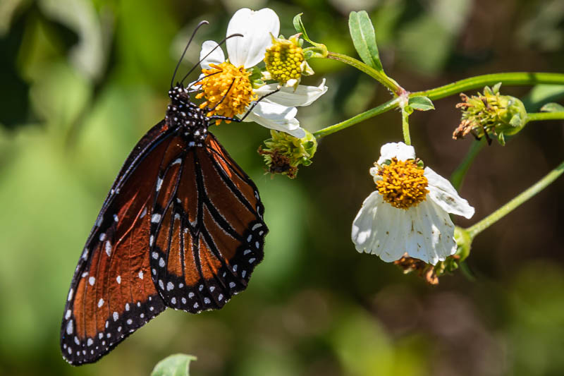 05-21-20butterfly