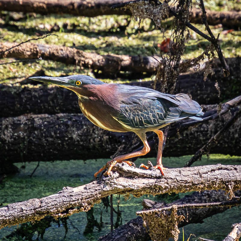 05-21-20greenheron2