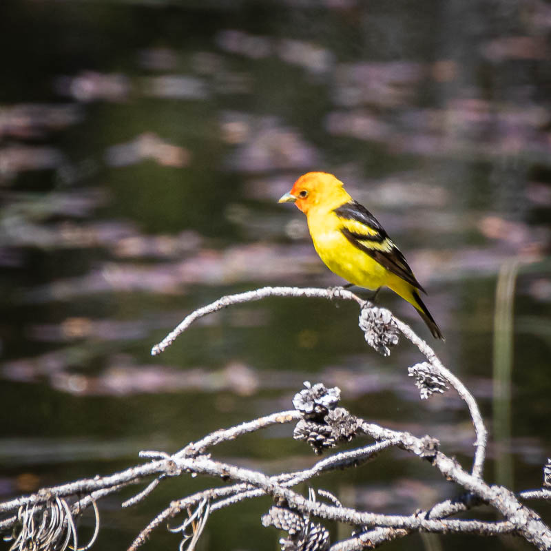 07-14-20tanager