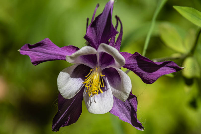07-18-20morningreflectionspurplecolumbine